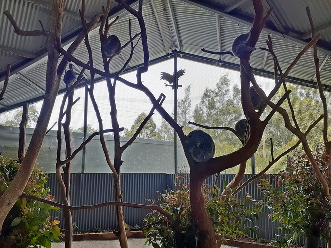 billabong zoo, koalas, port macquarie, NSW, australia, zoo, kids, children, family, tourist attractions, family, things to do,