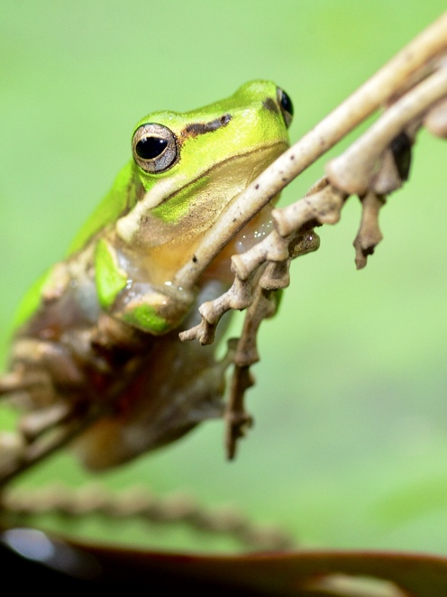 Although Australian frogs are threatened by human development, they still frequent many backyards