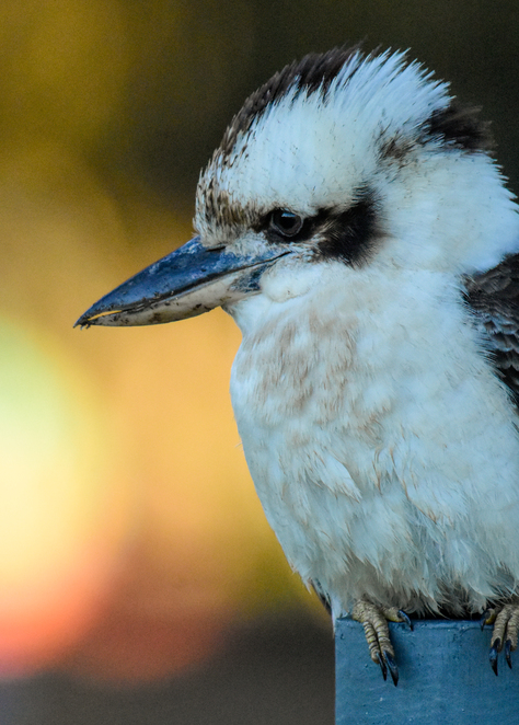 A laughing kookaburra near the glamping tents at sunrise