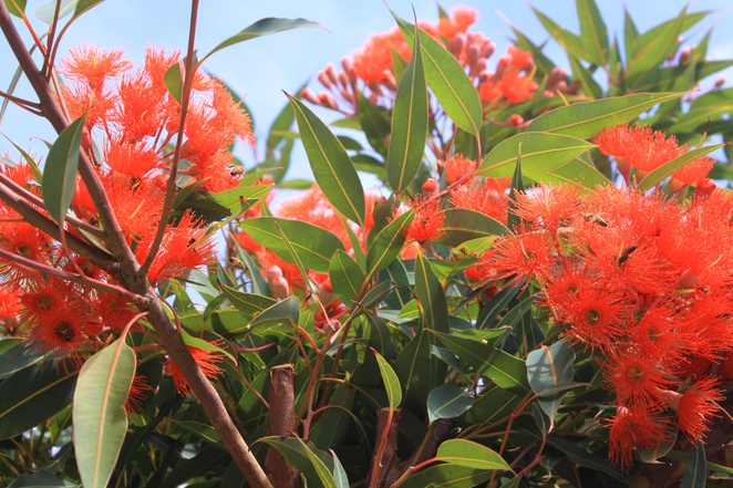 The red variety is now showing a blaze of bright red colour
