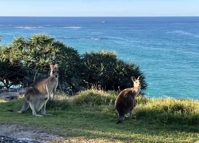 Kangaroos on North Stradbroke Island