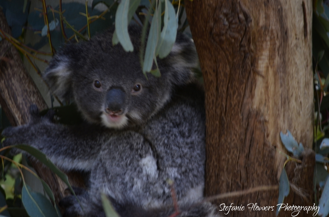 Koala, Tidbinbilla, Nature