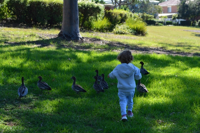 Local ducks of Wattle Grove Lake. Photographed by Mualla.