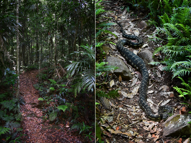 Main Range, National Park, Bushwalk, Hike, Trail, Nature, Snake, Python, Wildlife