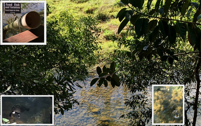 Murwillumbah_Crystal_Creek_rainforest_fish_feeding_tortoises_Coffee_view