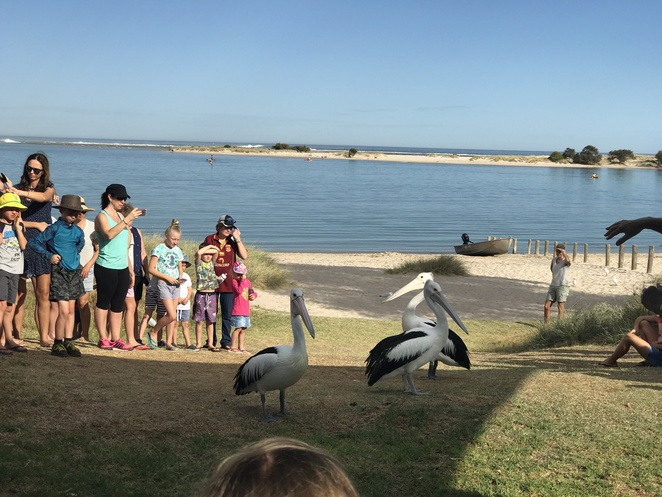 pelican feeding, pelican facts, where to see pelicans in WA, things to do in Kalbarri, free things to do in Kalbarri