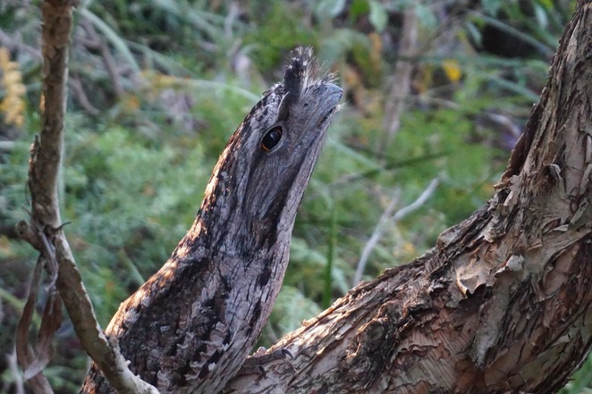 Tawny Frogmouth side on