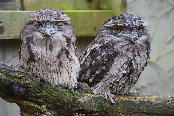 Tawny,frogmouths,in,Kings,Park