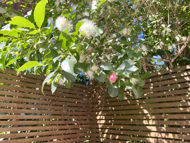The fruit, flower and pod