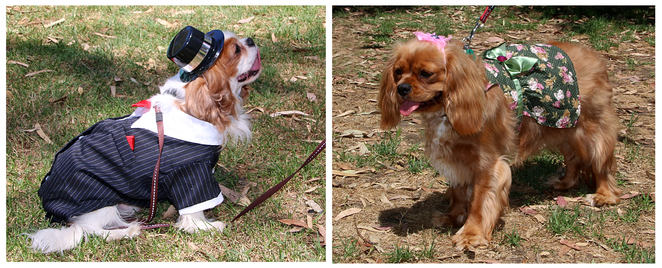 Cavalier, Capers, King Charles, Spaniel, October, funday,