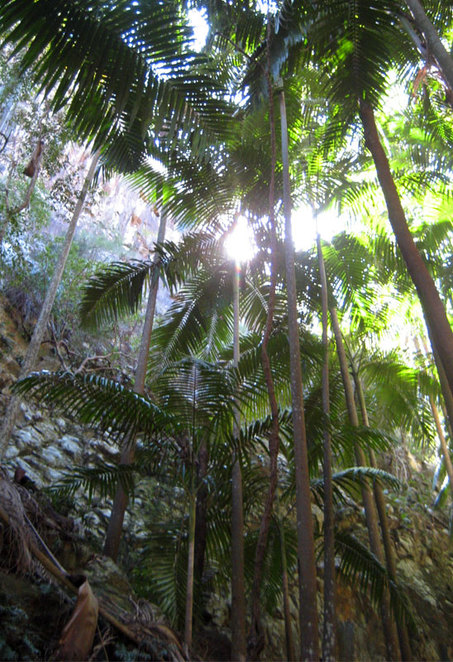 Palm trees in the gorge up Mt Greville