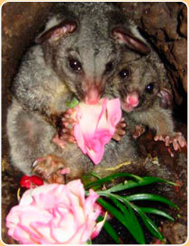 This image is from the Native Animal Rescue website.