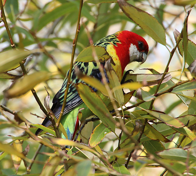 South Australian wildlife, South Australian tourism, Wildlife photography Wildlife stories, Willunga, SA history, eastern rosella