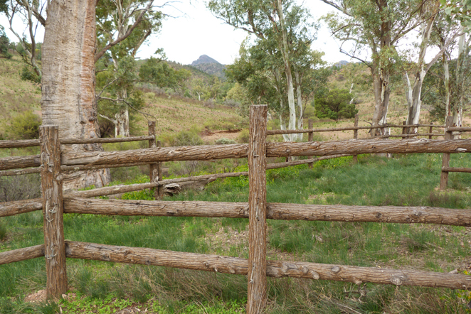 South Australian wildlife, South Australian tourism, Wildlife photography, Flinders Ranges, Moralana Trail, bullock