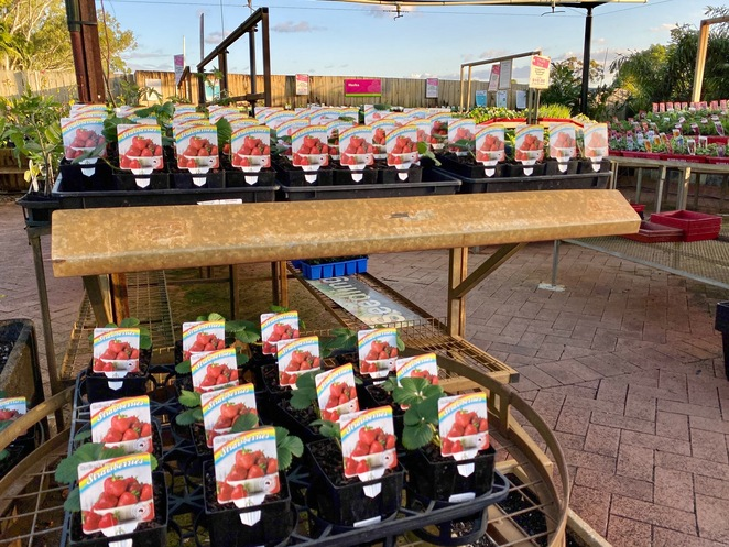Pick your own strawberries - grown in your own backyard!