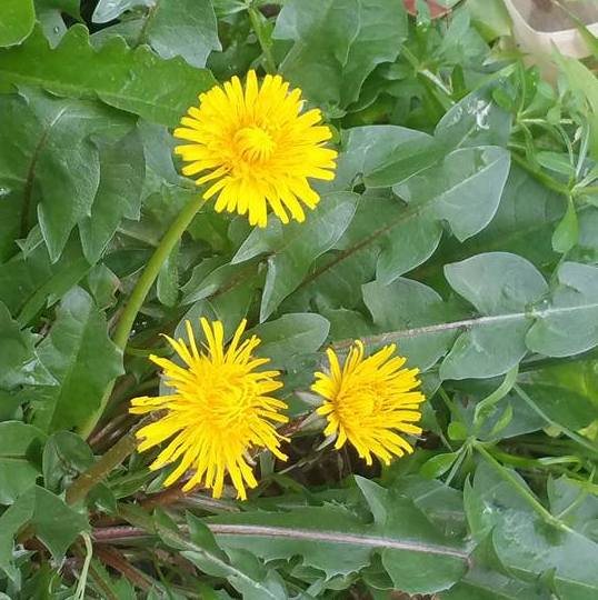 Dandelion, weeds, edible weeds, natural medicine, ailment, remedy, weed walk, naturopath, herbalist, glen park oaks