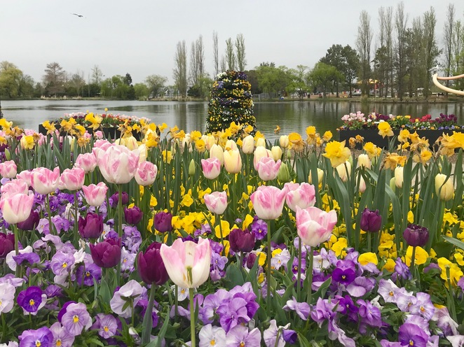 Floriade reimagined, Floriade 2020, where to see Floriade in 2020, Canberra festivals, Floriade Canberra, where to see spring flowers in Canberra