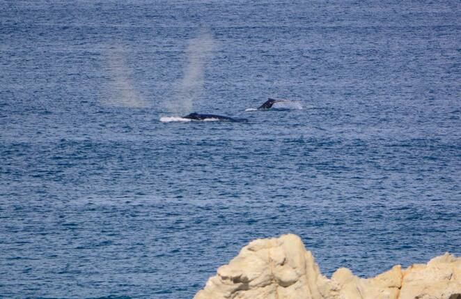 A humpback whale with her previous year's calf passing the Gorge Walk at Point Lookout