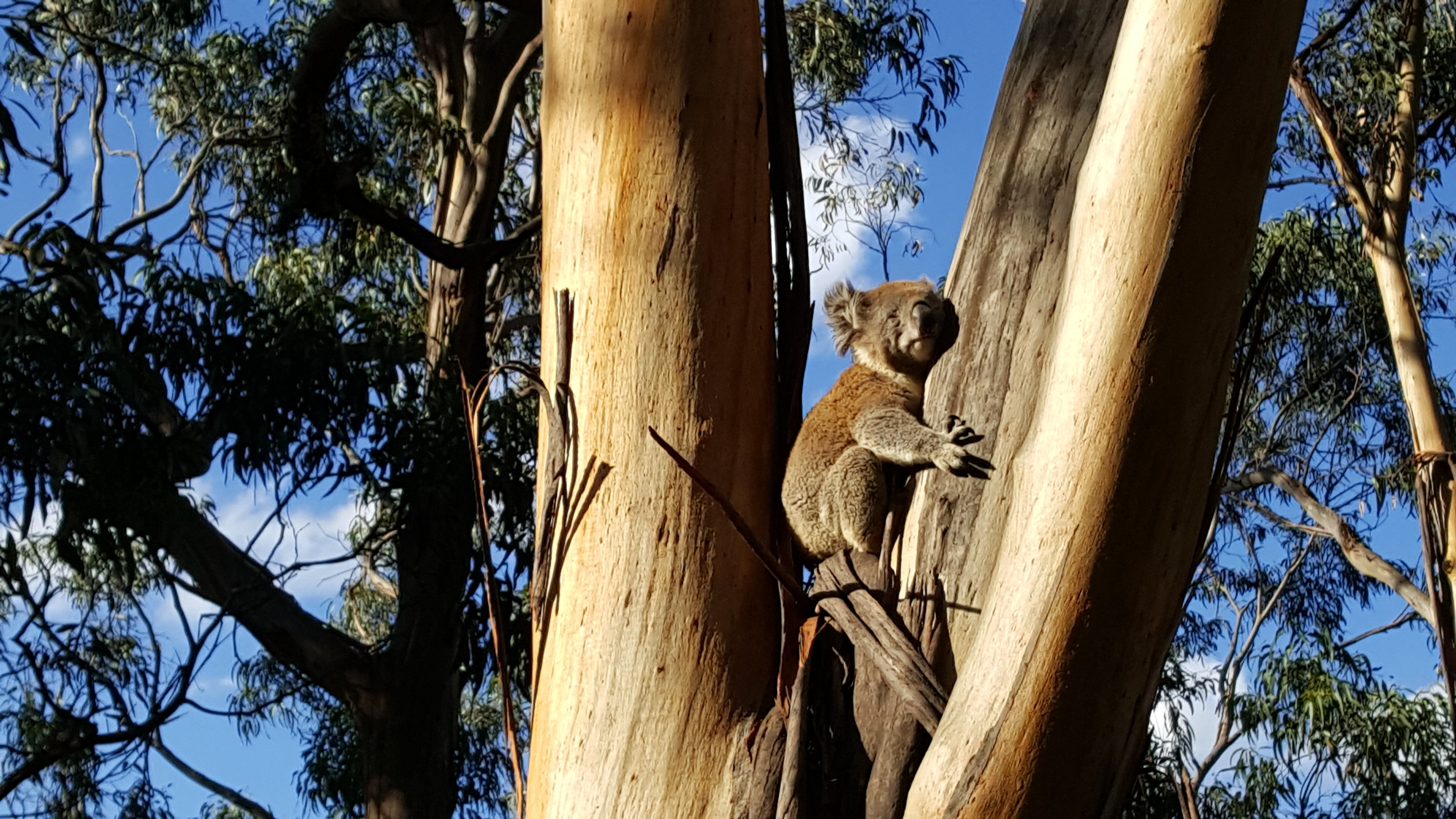 9 places to see koalas in the wild melbourne. Black Bedroom Furniture Sets. Home Design Ideas