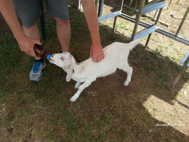 Naughty Little Kids, goat, kid, gelato, Peak Crossing, Scenic Rim, Eat Local Week, Open Day