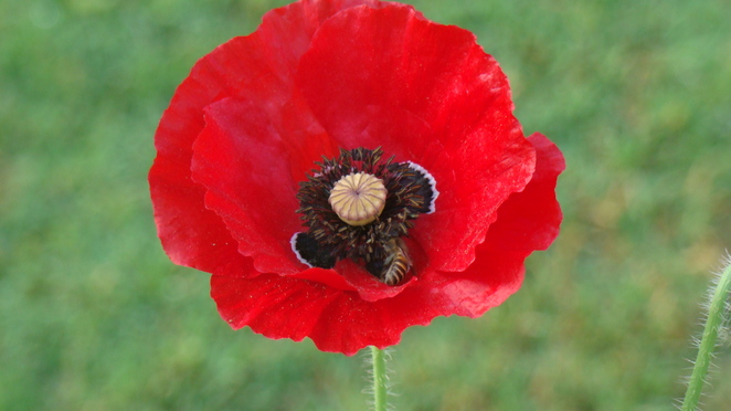 Poppy and bees