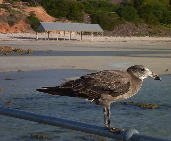 South Australian wildlife, South Australian tourism, Wildlife photography, Moonta, Pacific gull SA birds