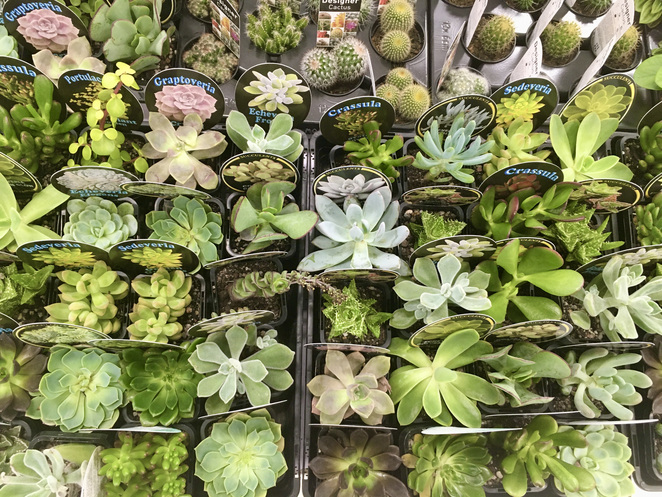 Succulents in Sydney, cheap succulents Sydney, where to buy succulents in Sydney, image by Jade Jackson, cacti, plants, cheap plants, cheap succulents, rare succulents, succulent society, succ lover, succaddict