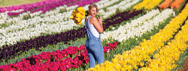 tesselaar tulip festival 2019, silvan victoria, all things dutch, exhibition of tulips, fun things to do, community event, garden lovers, flowering tulips, the glory of nature, colours of the rainbow, a display of tulips, family fun