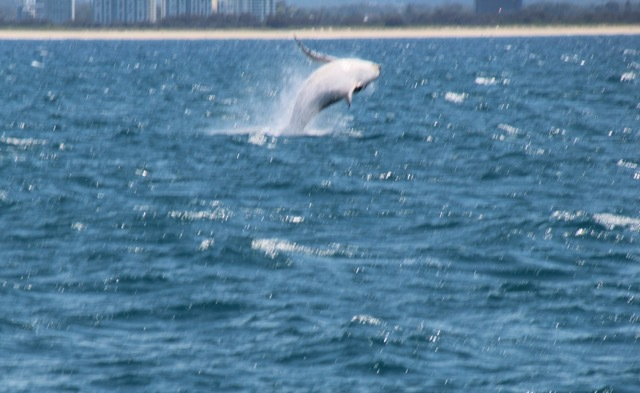 whale watching, whale watching Gold Coast, what's on Gold Coast, things to see Gold Coast, see whales in Australia