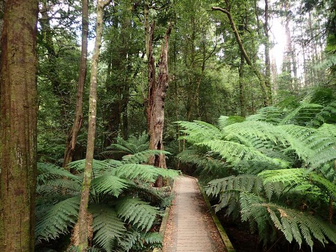 Wirrawilla Rainforest, walk, bushwalk, Toolangi State Forest, cool temperate rainforest, Sylvia Creek, boardwalk