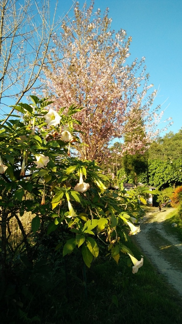 Aswin Homestay, Borong, Mountains, view, Sikkim, cherry blossom, datura