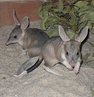 Bilbies, Kanyana Wildlife Rehabilitation Centre