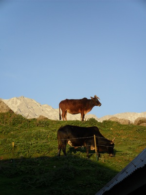 Cows, sunset, triund, mcleod ganj, dharamsala, trek