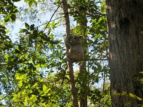 A koala in the wild at Daisy Hill Conservation Park