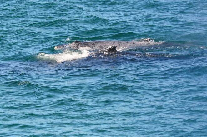 A humpback whale and her calf migrating along Queensland's coast