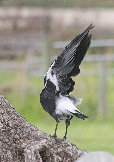 magpie taking wing.