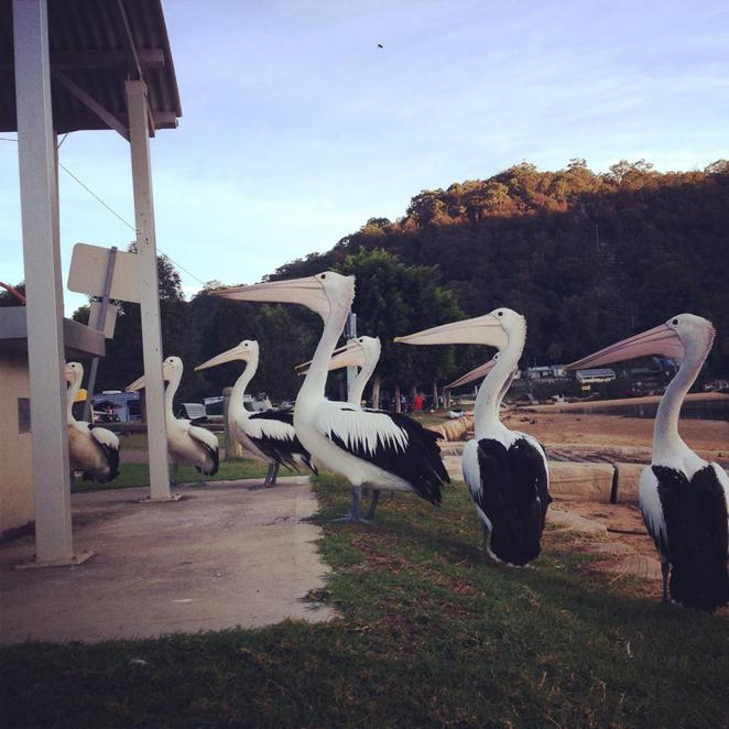 pelicans, patonga, camp, central coast
