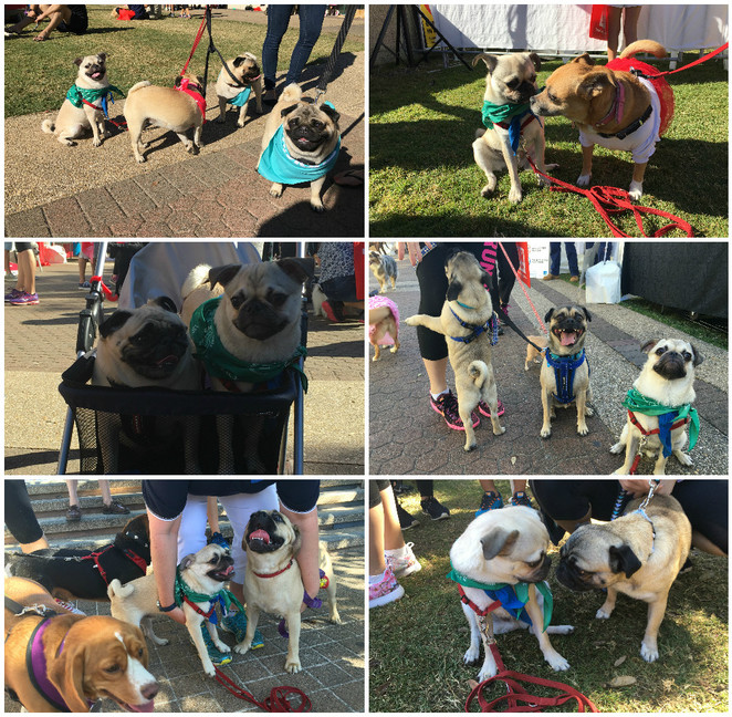 rspca million paws walk, dog friendly, dog walk, dog park, pug meet, pug society, brisbane, southbank