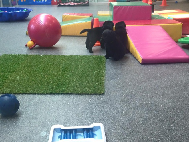 seda. guide dogs, melbourne, kensington, school holidays, dogs, puppies, labs