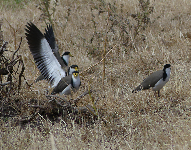 South Australian wildlife, South Australian tourism, Wildlife photography Wildlife stories, Underwater photography, Fleurieu Peninsula, Rapid Bay, masked lapwing