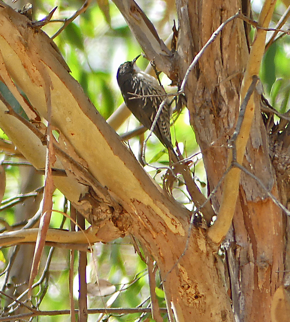 South Australian wildlife, wildlife photography, South Australian tourism, Adelaide tourism, Adelaide wildlife, South Australia nature, Lenswood, Adelaide Hills, treecreeper