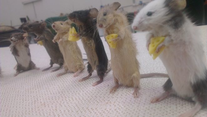 taxidermy, mouse, cheese, stuffed