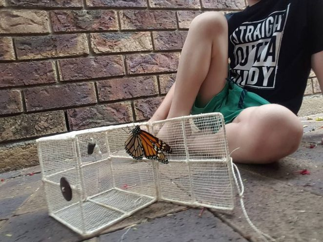 butterfly, Chrysalis, release, children, pet