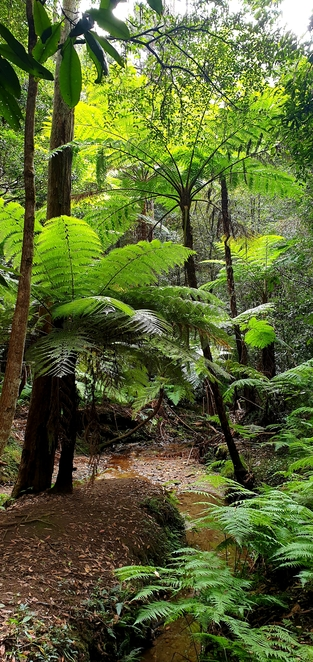 Ferns, nature, Australia, bush, walk, Blue Mountains, family, free