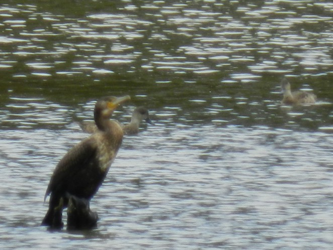 great cormorant, jells park, birdwatching in melbourne, birdwatching, birding in melbourne,parks in melbourne,