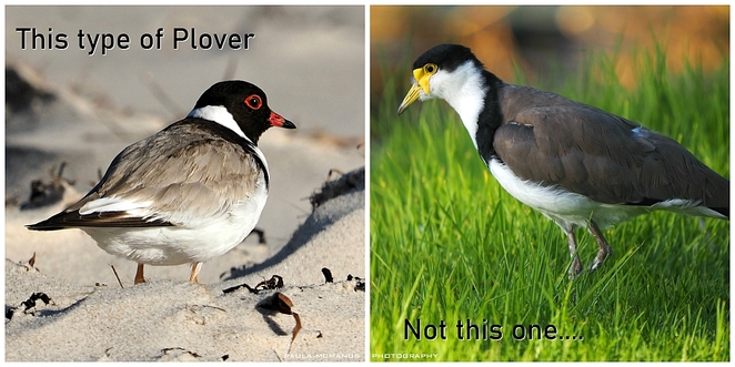 Hooded Plover Masked Lapwing Plover
