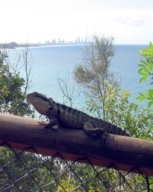 A water dragon enjoying the view on the Gold Coast