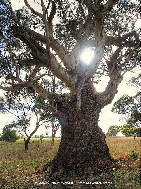 Aboriginal boundary marker tree