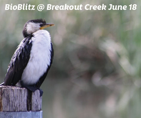 BioBlitz, Breakout Creek , Lockleys, discovery circle, Uni SA, West Torrens Baseball Club, Netley Avenue, Adelaide Airport, wildlife, flora and fauna