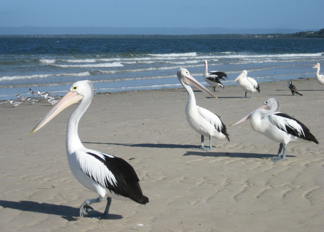 Pelicans on Red Beach, Bribie Island